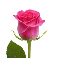 Buy fresh cut wholesale roses, for florists, corporate events and DIY brides. Discover top grade bulk natural, tinted or glittered roses and rose petals. Hot Pink Roses, Pink Rose Flower, Rose Petals, Bulk Roses, Cascading Bridal Bouquets, Wholesale Roses, Beautiful Red Roses, Unique Roses, Rose Buds