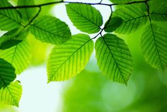green leaves.psd