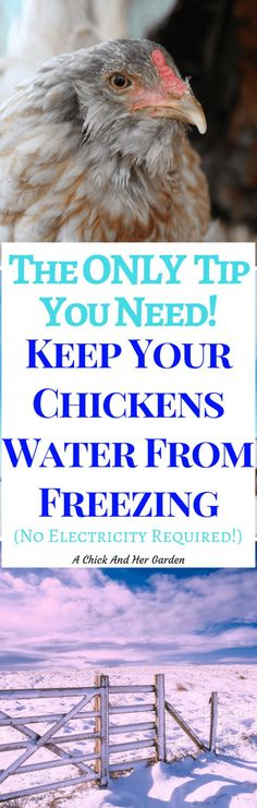 The Only Tip You Need ~ Keep Your Chickens Water From Freezing - A Chick And Her Garden