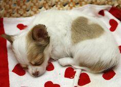 cucciolo di chihuahua venuto alla luce con una macchia a forma di cuore sul manto
