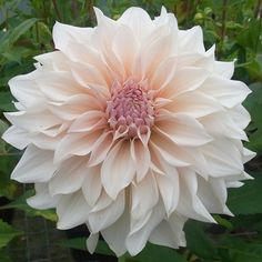 Dahlia plants can only be supplied in multiples of 3 separate varieties can be chosen. Blush Flowers, Rare Flowers, Botanical Flowers, Beautiful Flowers, Wedding Flowers, Dahlia Flowers, Elegant Flowers, Dahlia Bouquet, Growing Dahlias