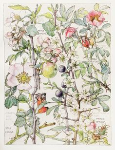 1910 Botanical Print by H. Isabel Adams Rose by PaperPopinjay, $15.00