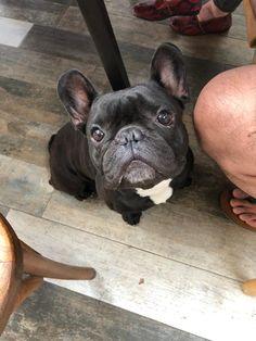 Pidiendo comida French Bulldog Pictures, French Bulldog Clothes, French Bulldog Puppies, Dogs And Puppies, French Bulldogs, Doggies, Baby Animals, Cute Animals, Funny Animals