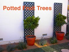 Potted Citrus Trees, @Shirley Bovshow edible landscape, via her blog www.edenmakersblog.com