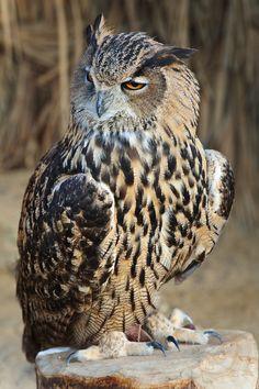 Eagle owl at Birds of Prey Dubai