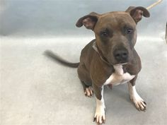 BILBO - 10174 - - Manhattan TO BE DESTROYED 10/23/17 **NEW HOPE RESCUE ONLY** - Click for info & Current Status: http://nycdogs.urgentpodr.org/bilbo-10174/