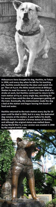See the MOVIE...HAACHI: A DOG'S TALE starring Richard Gere.BEAUTIFUL STORY..Most loyal dog in the world.