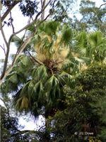 Livistona australis in flower