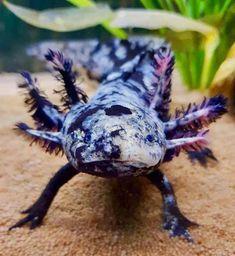 Axolotl Pet, Axolotl Tank, Cute Reptiles, Reptiles And Amphibians, Cute Little Animals, Cute Funny Animals, Beautiful Creatures, Animals Beautiful, Terrarium Reptile