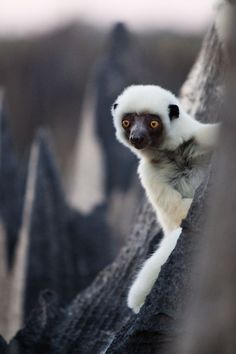 lemur via Natures Doorways
