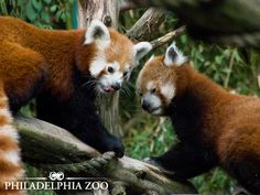 Red pandas in the wild are endangered due to habitat loss, but can be found at Philadelphia Zoo in Carnivore Kingdom. Philadelphia Zoo, Red Pandas, Visual Display, Exhibit, Mammals, Habitats, Raising, Turning, In This Moment