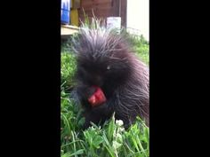 Baby Porcupine NOMS watermelon. OMG I just about Squeed out loud!