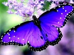 Blue and Purple Butterfly | Purple Emperor Butterfly with Its Beautiful Purple Wings