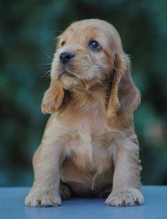 Golden English Cocker Spaniel Puppy