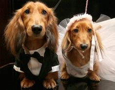 Dachshunds get married for charity (AP Photo/Tina Fineberg)
