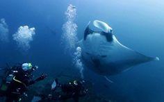 VEJAM O LINK http://globotv.globo.com/canal-off/submerso/v/ep-02-t4-manta-reef-mocambique/2729700/