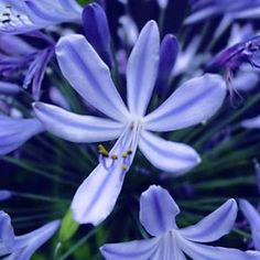 Bulbi-Agapanthus-Blue-02