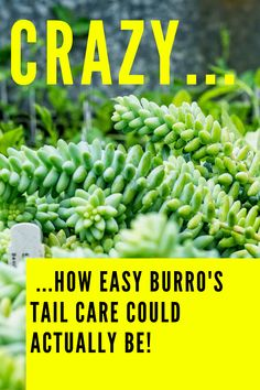 The Best Donkey's Tail Care Tips on the internet #plantophiles #burrostail #donkeystail Outdoor Plants, Air Plants, Oyster Plant, Scale Insects, Types Of Bugs, Spider Mites, Build A Greenhouse, Replant, Neem Oil