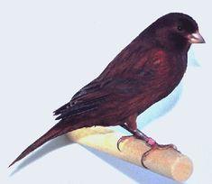 Présentation du Canary Champion Club.Noir Cobalt