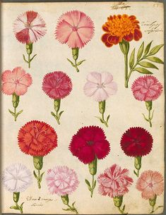 botanical illustration - oh tiny carnations.  I grew these and made bouquets for my teachers.  fabulous scent.
