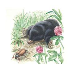 Giclee Print: European Mole (Talpa Europaea), Talpidae, Hunting Cockroach : 16x16in European Mole, Find Art, Framed Artwork, Giclee Print, Hunting, Animales, Deer Hunting