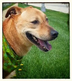 Max..no question a loyal dog. Come meet him at #Joliet township animal control on Facebook
