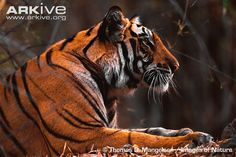 One of the largest of the big cats, the tiger (Panthera tigris) is an instantly recognisable animal and an iconic symbol of conservation. Nine different subspecies of this charismatic carnivore...