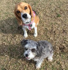 """""""This is Ellie...she is my cousin and very bestest friend! I  love  her!!! #bestfriends #beagle #cousins"""""""