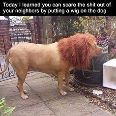 HAWAIIAN LION.....