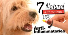 If you think that nsaids are the only answer to your dog's pain and inflammation, READ THIS to see the benefits vs the risks plus natural alternatives!