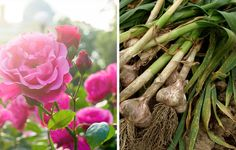 Companion Gardening Organic gardeners know that a diverse mix of plants makes for a healthy and. - Companion planting uses one species' advantages to help another. Here are 13 pairings to try. Short Plants, Tall Plants, Permaculture, Planter Ail, Organic Gardening, Gardening Tips, Vegetable Gardening, Veggie Gardens, Organic Farming