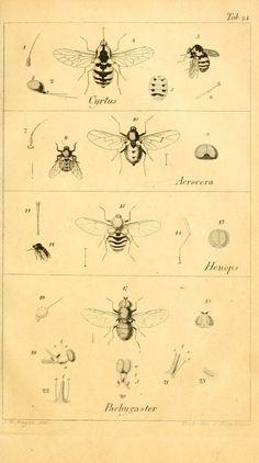 T. 3 - Systematische Beschreibung der bekannten europäischen zweiflügeligen Insekten / - Biodiversity Heritage Library