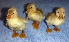 Basic Duckling Care - Raising Healthy Happy Ducks by Lisa/Fresh Eggs Daily Farm Girl Fresh Eggs Daily