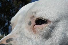 Dogo Argentino , Akira Sueno de la vida