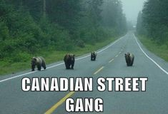 Dying of laughter! am cool turning around! keep ur turf! funny And yet another reason to move to Canada. I Am Canadian, Canadian Memes, Canadian Humour, Canadian Culture, Animal Captions, O Canada, Just For Laughs, Laugh Out Loud, The Funny