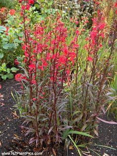 Zone 3 Trees and Shrubs | Zone 3 Flowers: Cardinal flower (Lobelia | Native plants, trees, and ...