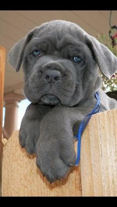 Cane Corso.    Love the blue silver.  Maybe this will be #3...lol ..want want want by earlene Cane Corso Puppies, Cane Corso Dog, Blue Cane Corso, Cute Puppies, Cute Dogs, Dogs And Puppies, Doggies, Animals And Pets, Baby Animals