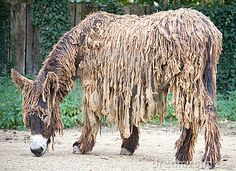 Poitou`s  Donkey. I had to google it, since I'd never heard of it. Apparently it's real....