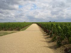 Perfectly manicured vineyards at Petrus in Pomerol.