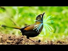Nightingale Serenade - YouTube