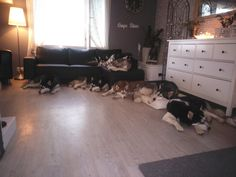 How perfect my home would be ;) can never have enough Husky Babies <3