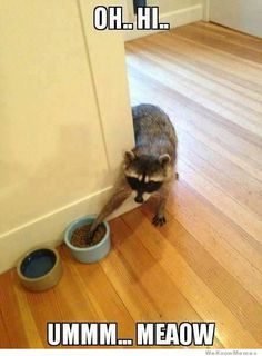 Silly raccoon, kibbles are for kitty!