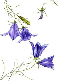 Botanical Illustration, Botanical Prints, Illustration Art, Botanical Drawings, Watercolor Cards, Watercolor Flowers, Watercolor Paintings, Blue Bell Flowers, Floral Drawing