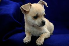 Chihuahua Puppy Pictures and Information .
