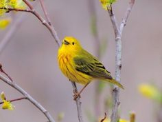 Yellow Warbler © Jim McCree, Easton, Maine, May 2011, http://www.flickr.com/photos/24762951@N04/5749889293/