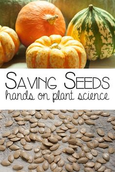 Saving Seeds hands on plant science for autumn and fall ideal for ages 5 to 8 when exploring plant science in the curriculumn or harvest. Pinecone Crafts Kids, Christmas Crafts For Kids To Make, Pine Cone Crafts, Growing Tomatoes, Growing Vegetables, Starter Garden, Plant Science, Science Fun, Saving Seeds