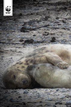Toller Naturschutzerfolg im Wattenmeer!  An der Nordseeküste wurden insgesamt…