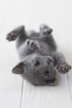 Cute russian blue kitten playing.. Click on the pic for more adorable pics :)