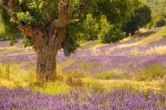 Albero di Gelso e campo di Lavanda in Provenza, Mulberry Tree and Lavender field in Provence