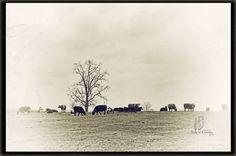 Cows 9127